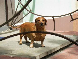 Pregnant Dog